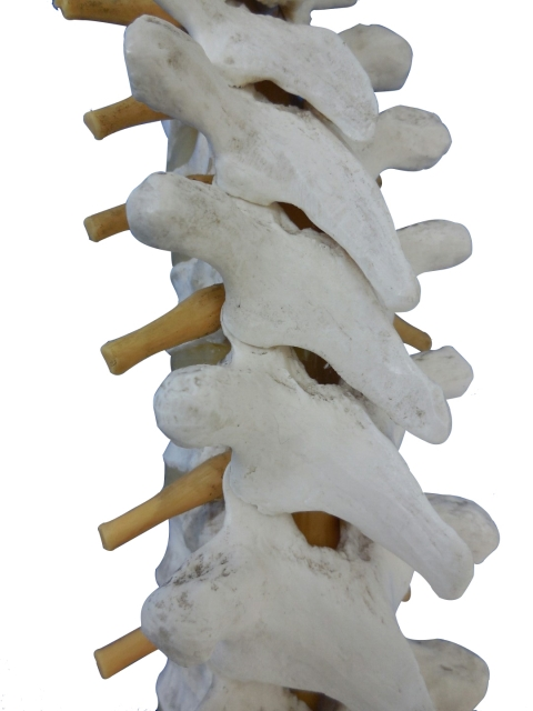 背骨(脊柱)胸椎
